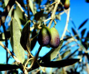 Trgatev oziroma obiranje oljk v Istri 2016