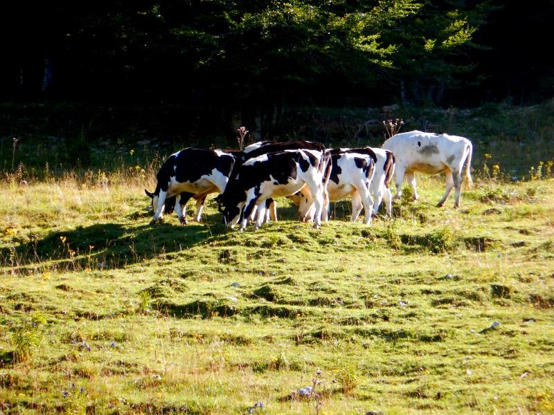 Krave na paši